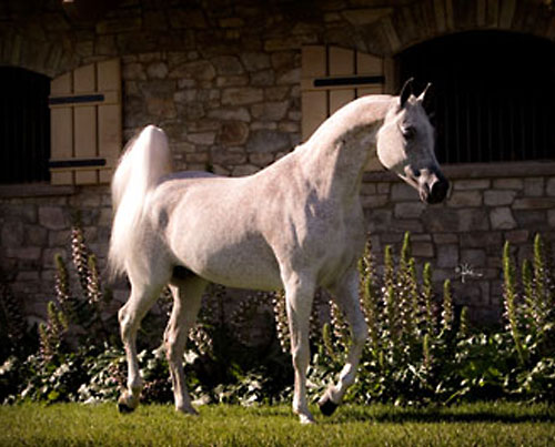 Valley Oak Arabians Grey Arabian Mare