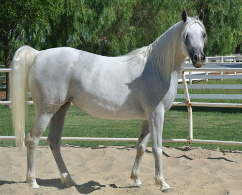 Valley Oak Arabians Bay Arabian Mare