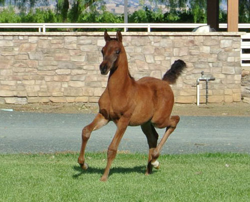 Valley Oak Arabians Arabian Colt